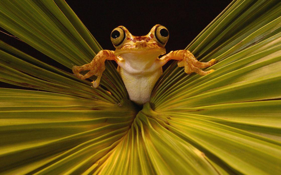 Leaves frogs amphibians wallpaper