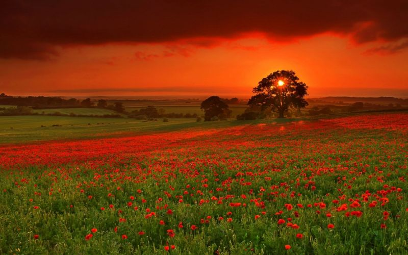Sunset landscapes nature fields meadow poppy wallpaper