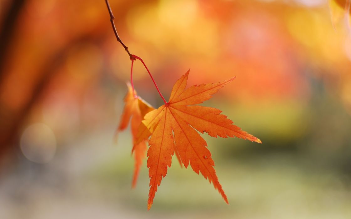 Nature autumn (season) leaves maple leaf depth of field wallpaper