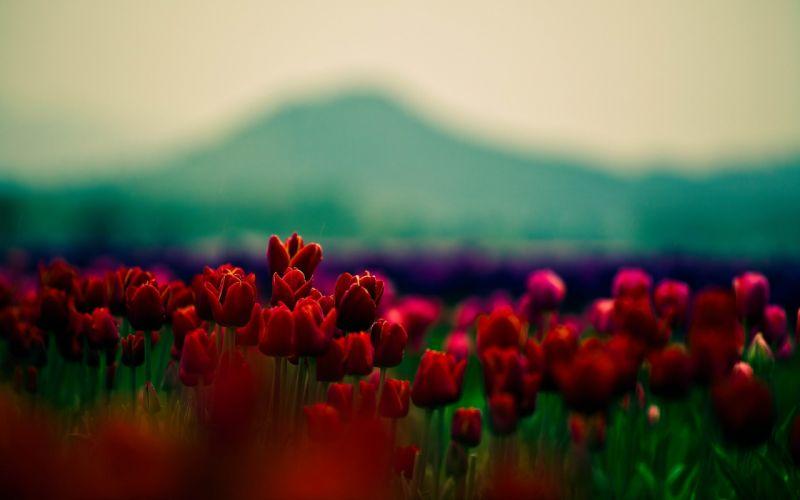 Flowers fields wallpaper
