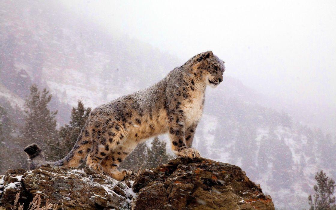 Wall snow leopards wallpaper