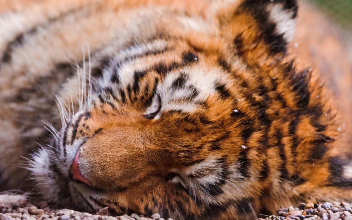 Animals tigers sleeping wallpaper