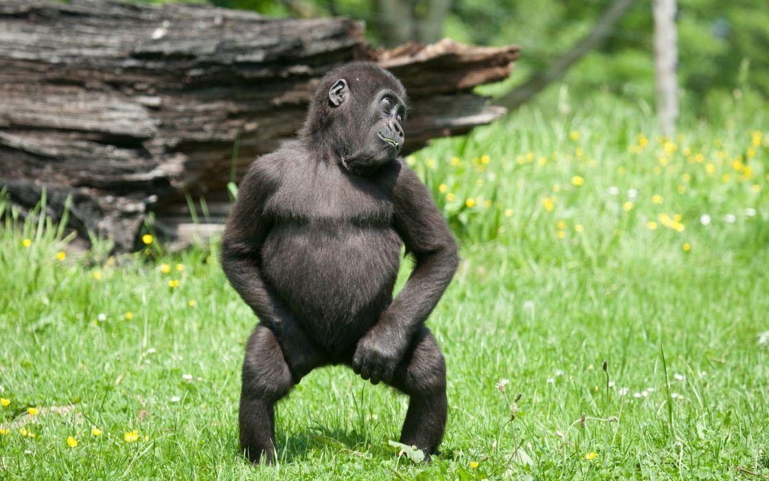 Nature animals grass gorillas monkeys baby animals wallpaper
