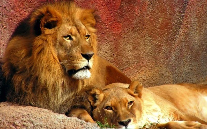 Animals couple lions wallpaper