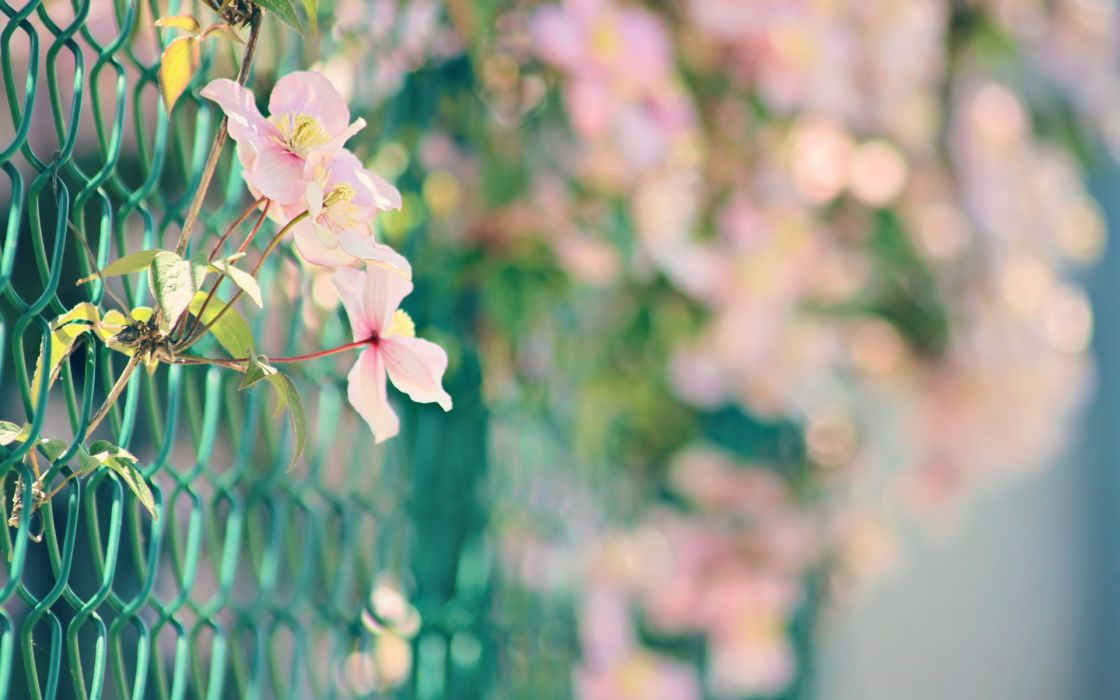 Nature flowers fences bokeh macro chain link fence pink flowers wallpaper