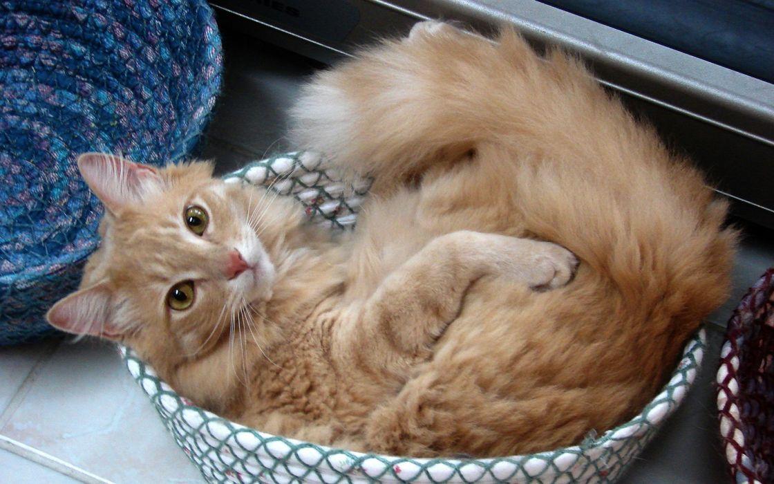 Cats animals orange fluffy wallpaper