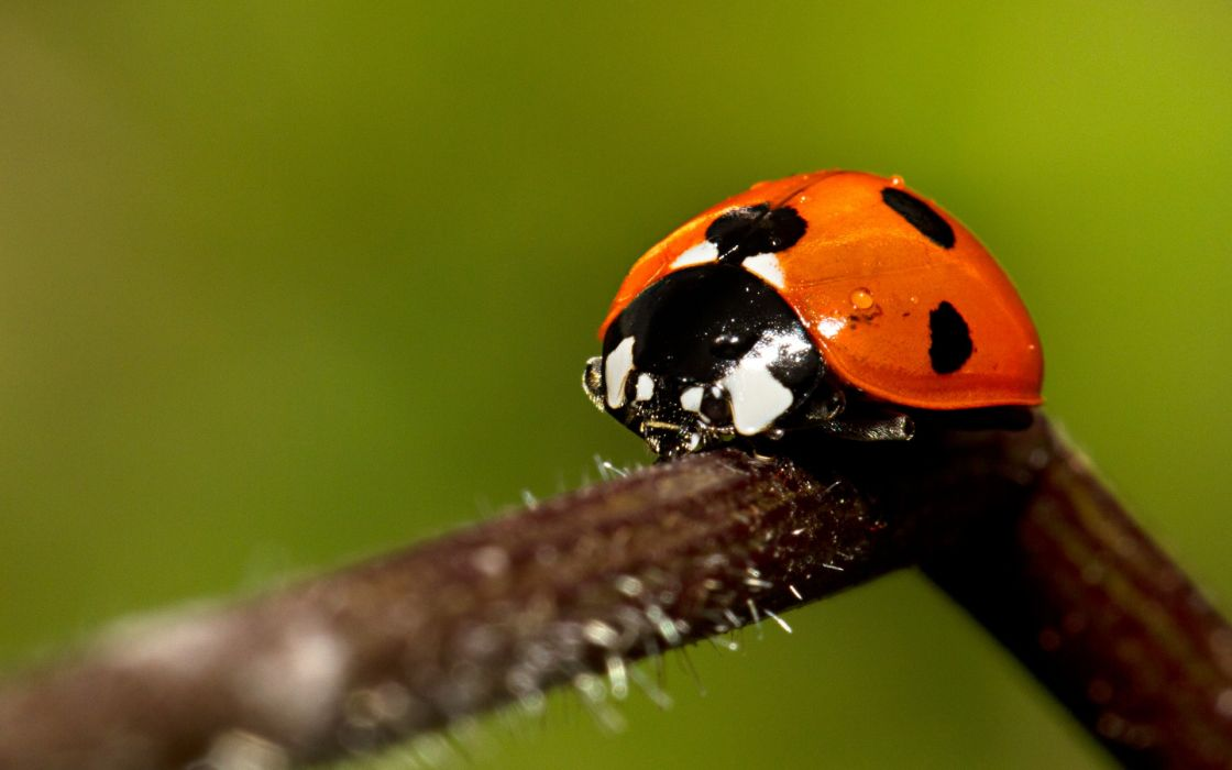 Animals insects macro ladybirds wallpaper