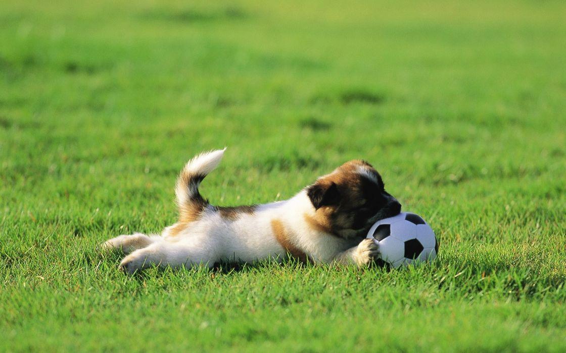 Nature animals grass puppies soccer balls wallpaper