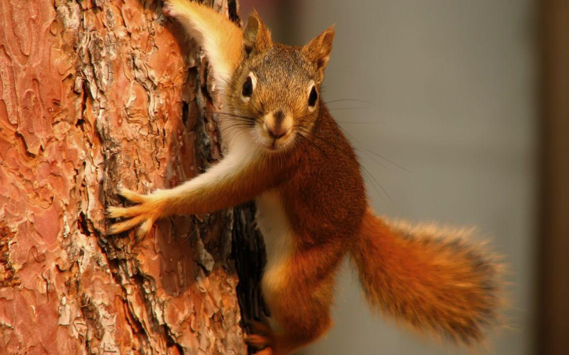 Animals squirrels tree trunk wallpaper