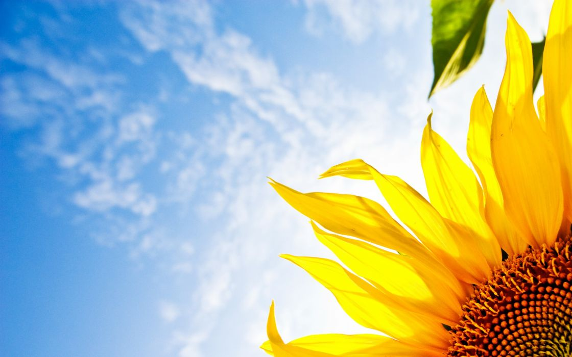 Nature flowers sunflowers wallpaper