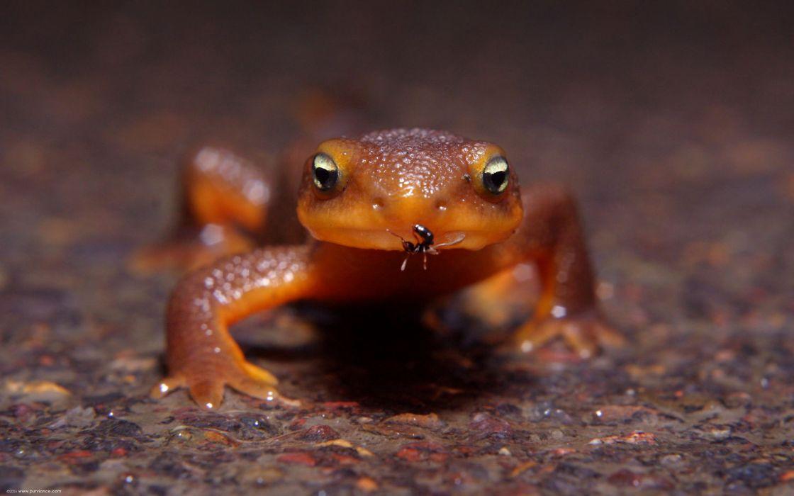 Women macro ant amphibians newt wallpaper