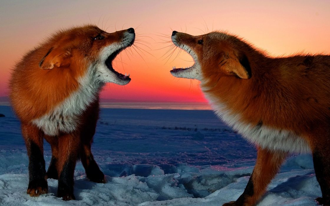 Snow red animals foxes wallpaper