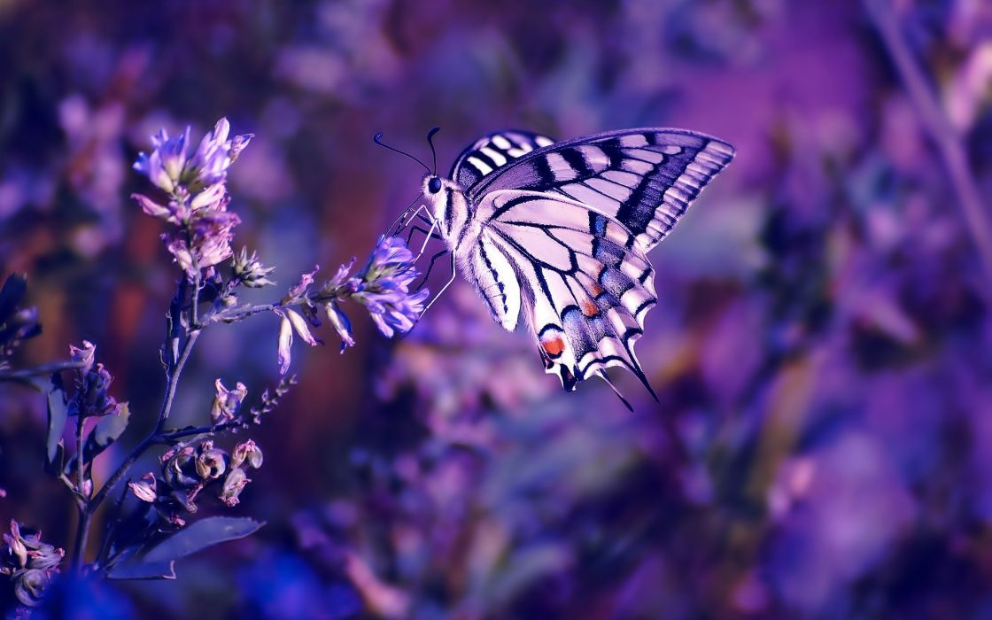Nature flowers butterfly insects purple wallpaper