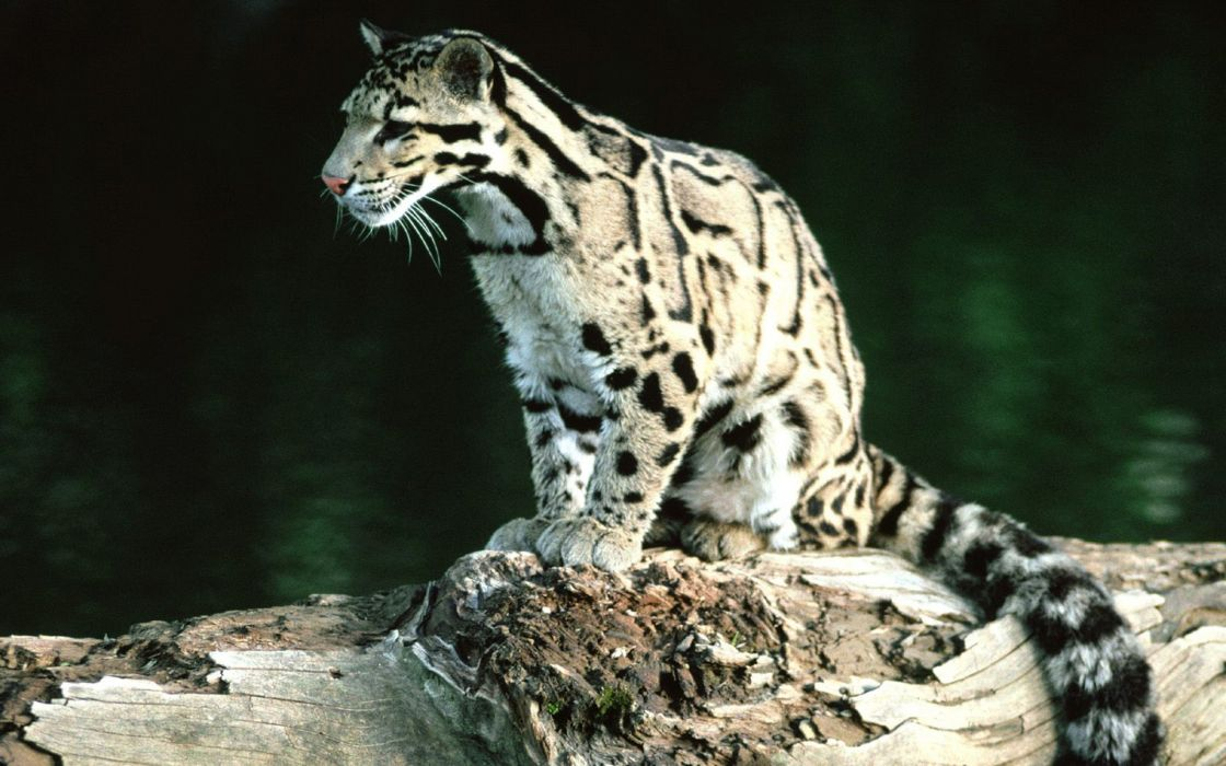 Feline clouded leopards wallpaper