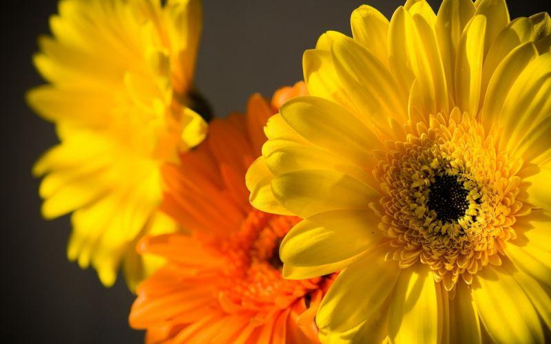 Nature flowers yellow flowers chrysanthemums wallpaper