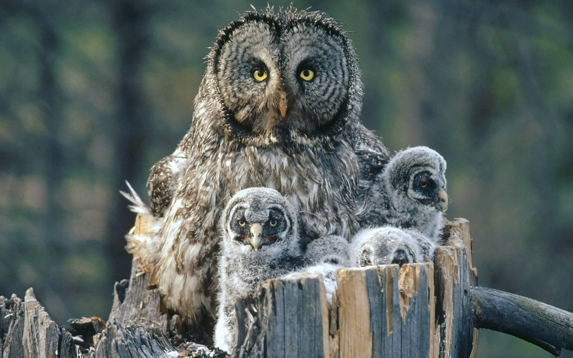 Birds family owls backgrounds baby birds wallpaper