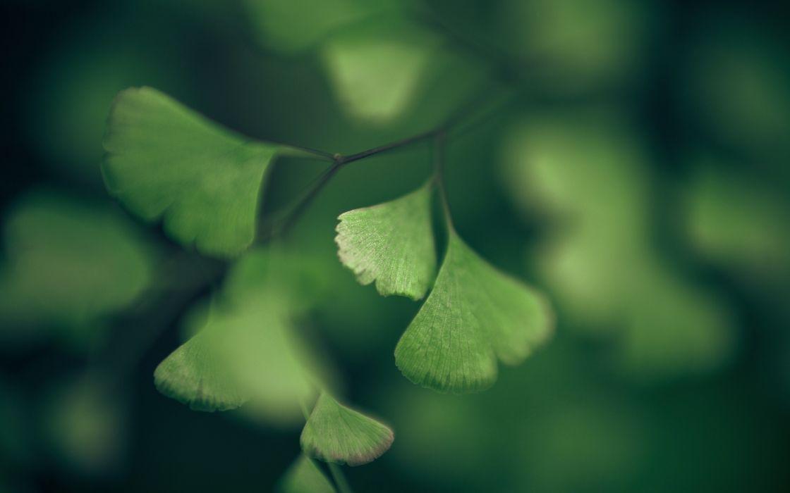 Green nature macro ginkgo foliage herbs wallpaper