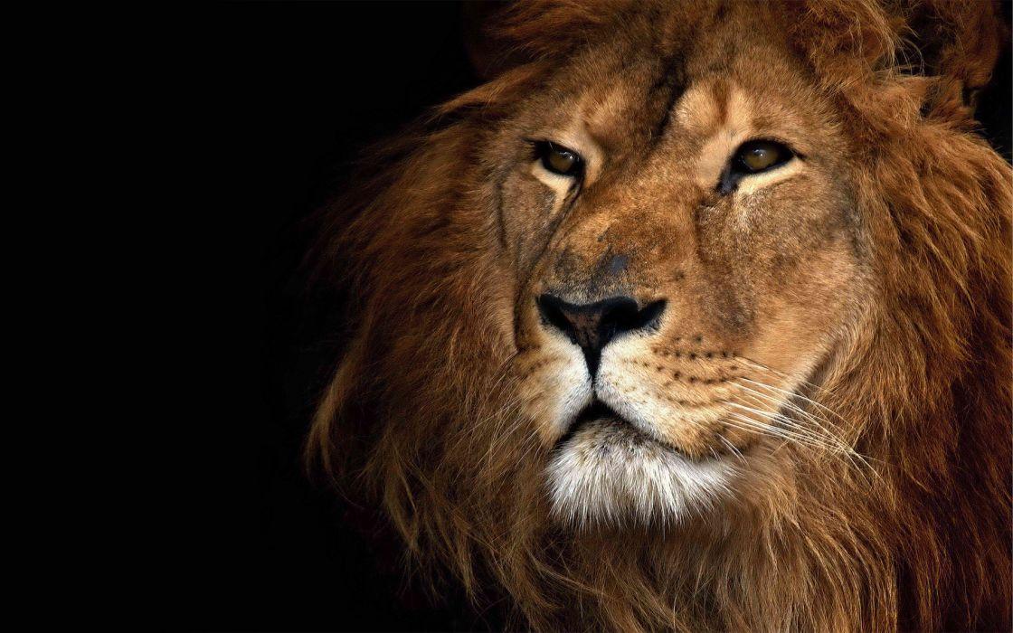 Nature animals lions animal world wallpaper