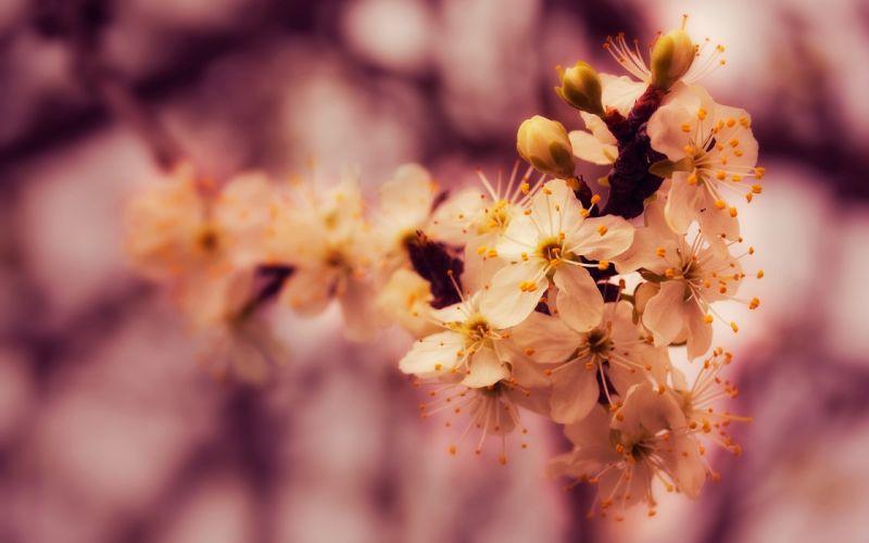 Nature spring (season) blossoms macro wallpaper