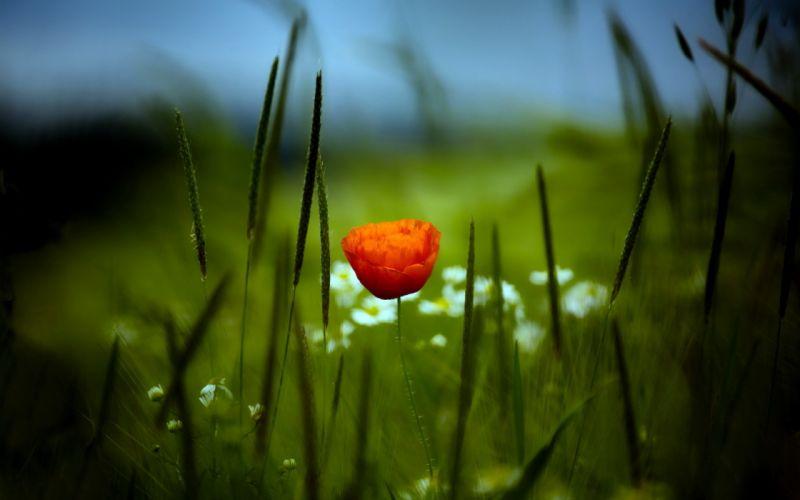 Flowers grass macro poppy wallpaper