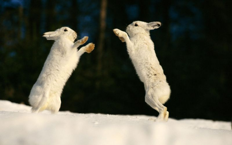 Bunnies animals rabbits wallpaper