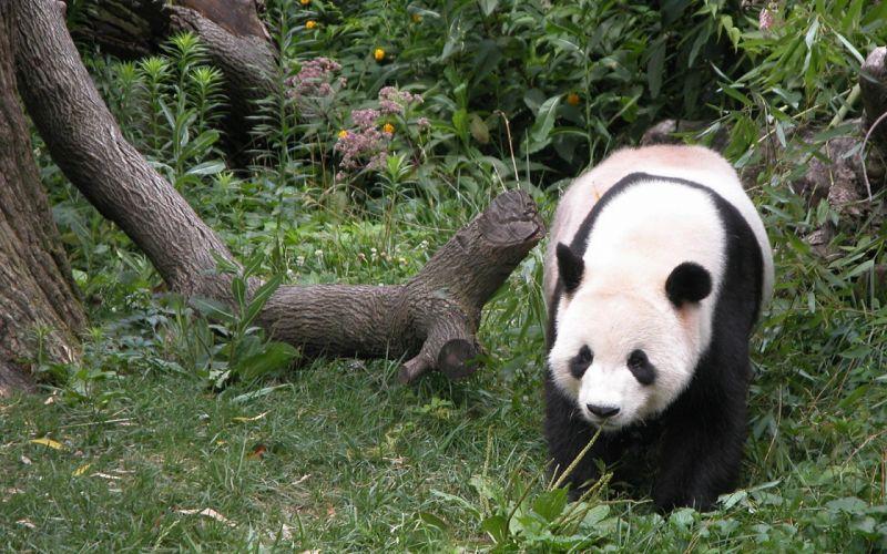 Panda bears wallpaper