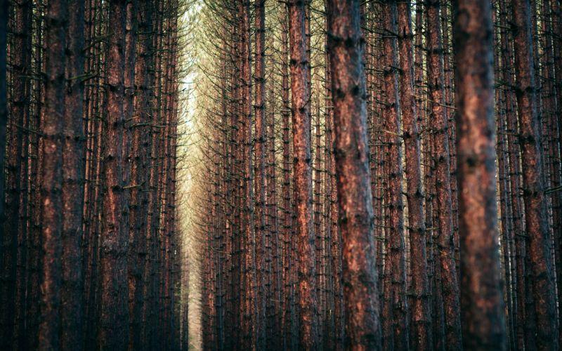 Winter (season) trees yellow forest orange gray brown pine wallpaper