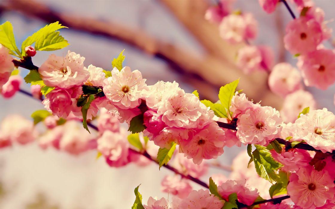 Cherry blossoms flowers wallpaper