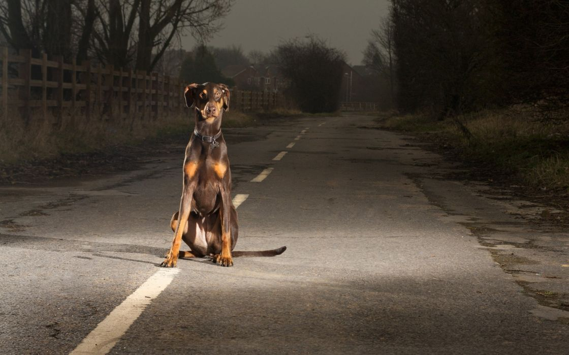 Dogs roads doberman pinscher doberman wallpaper