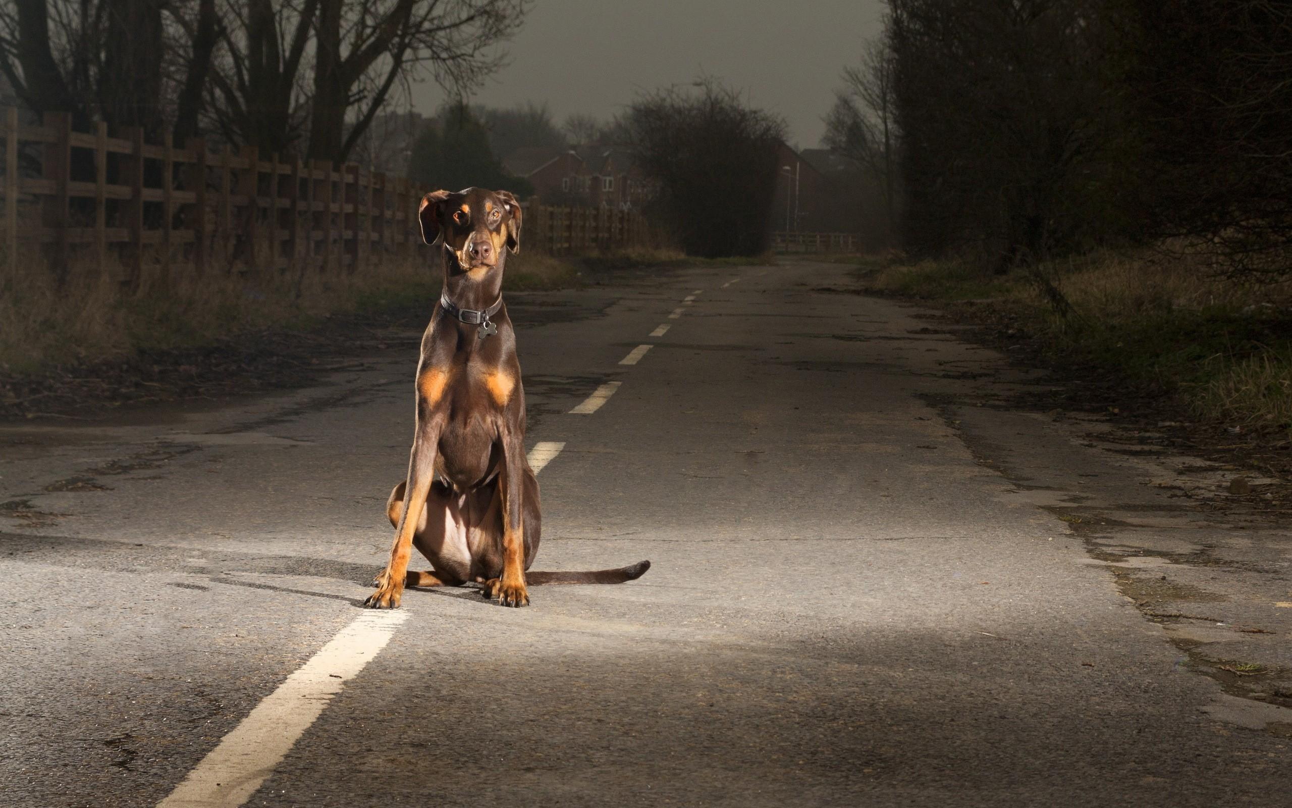 Dogs roads doberman pinscher doberman wallpaper - Doberman wallpaper ...