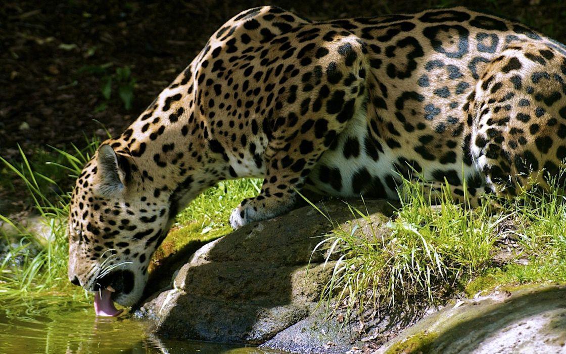 Animals grass leopards drinking wallpaper