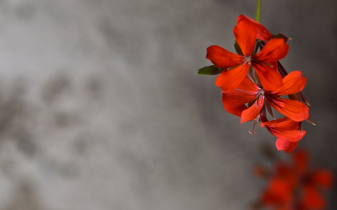 Red flowers happy wallpaper