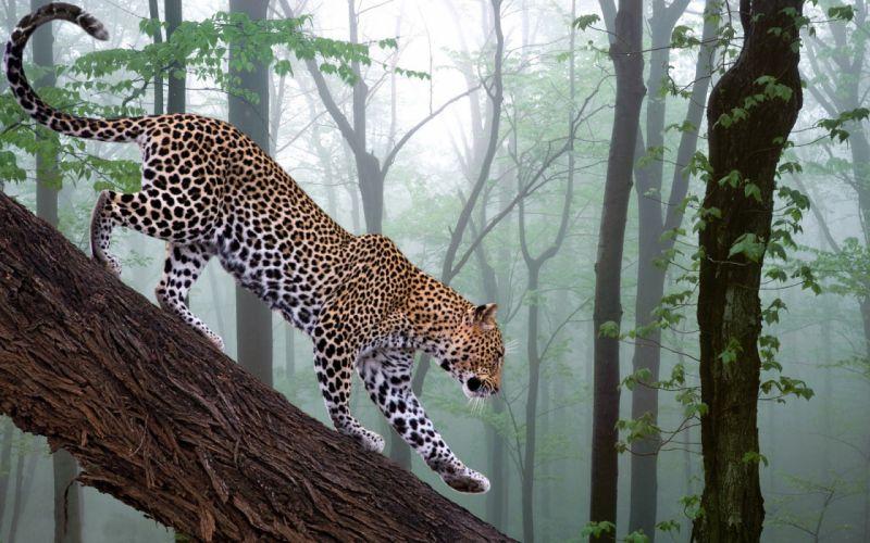 Forest animals leopards wallpaper