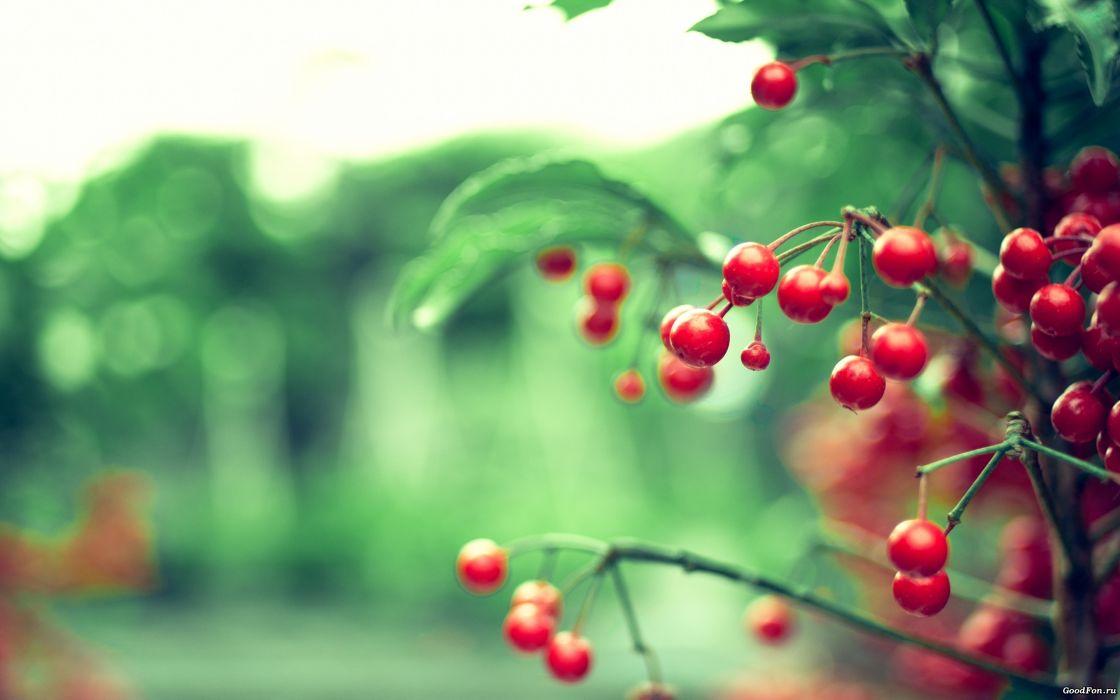 Nature cherries depth of field wallpaper