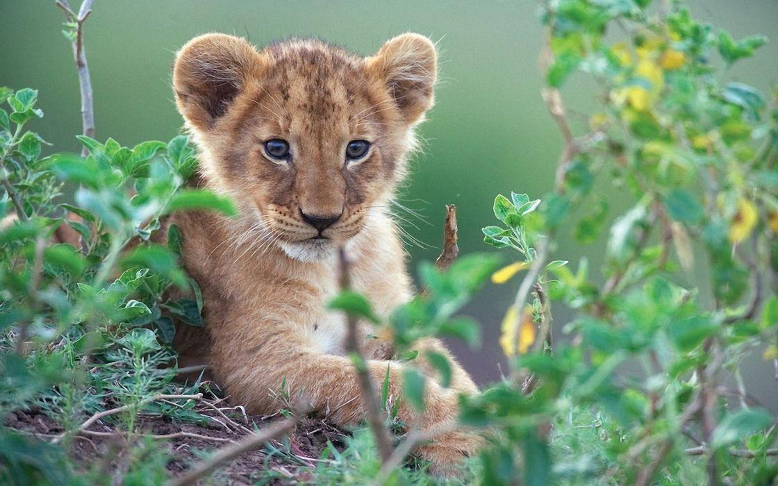 Animals cubs feline lions wallpaper