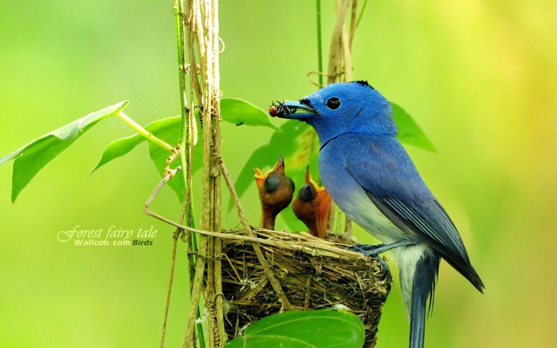 Birds wildlife baby birds blue flycatchers wallpaper