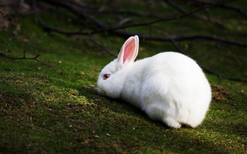 Bunnies animals wallpaper