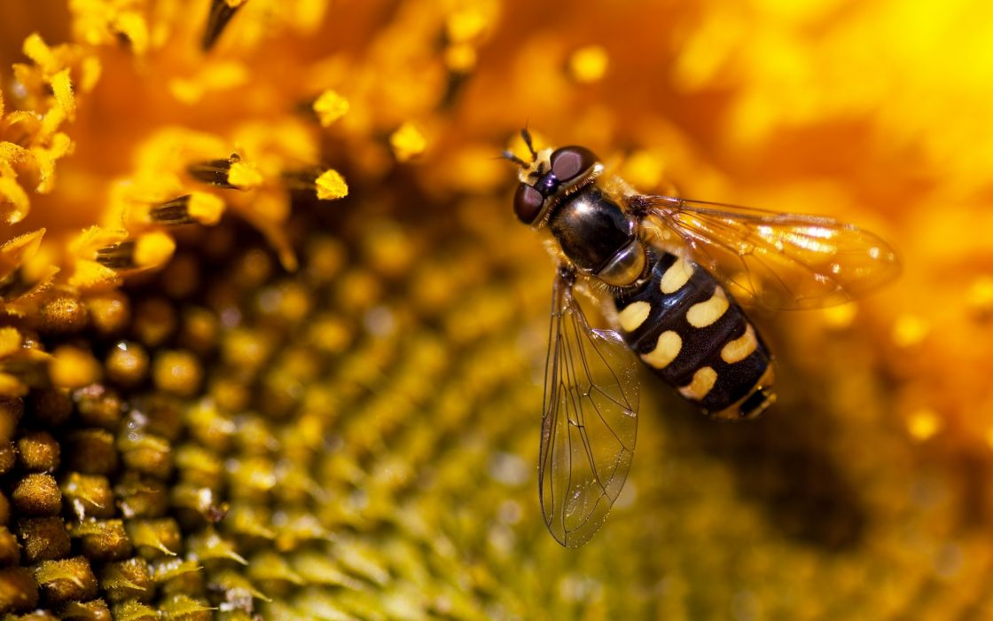 Flowers insects macro bees sunflowers wallpaper
