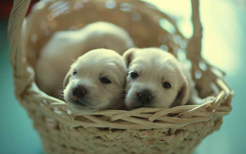 Animals puppies baskets wallpaper
