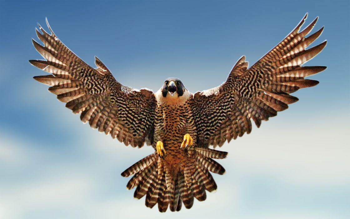 Birds falcon bird wallpaper
