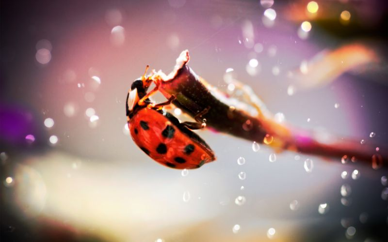 Insects beetles macro ladybirds wallpaper