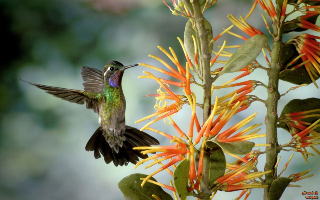 Flowers birds hummingbirds watermark wallpaper