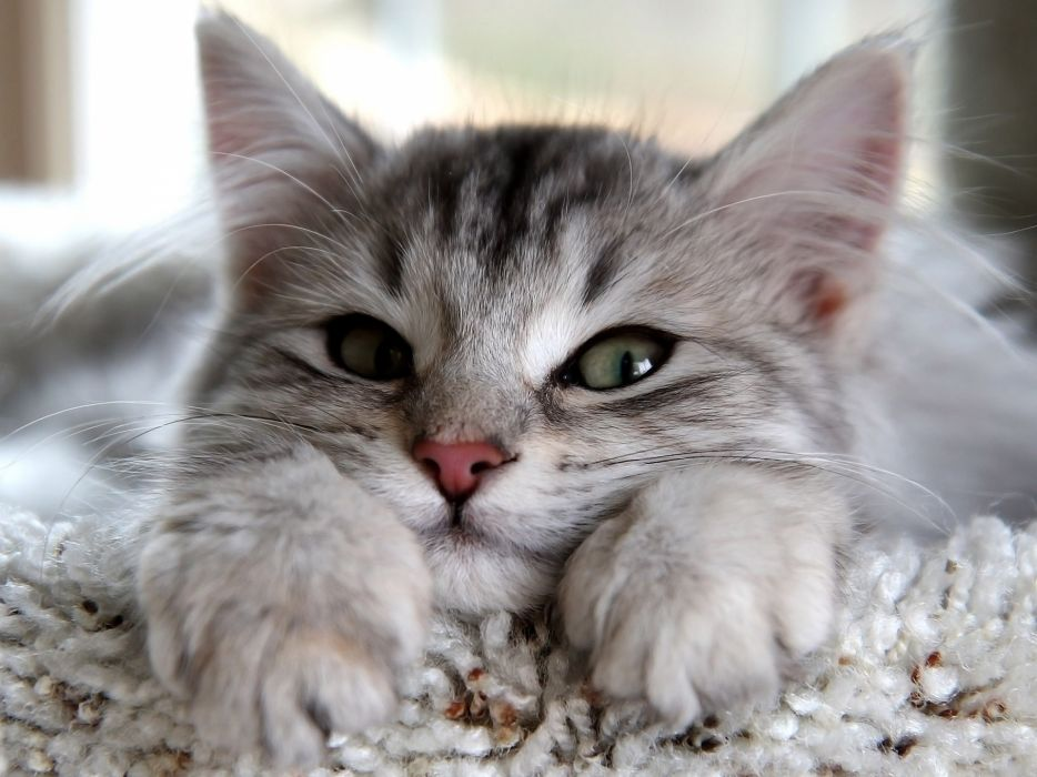 Up cats animals green eyes paws shag carpet wallpaper
