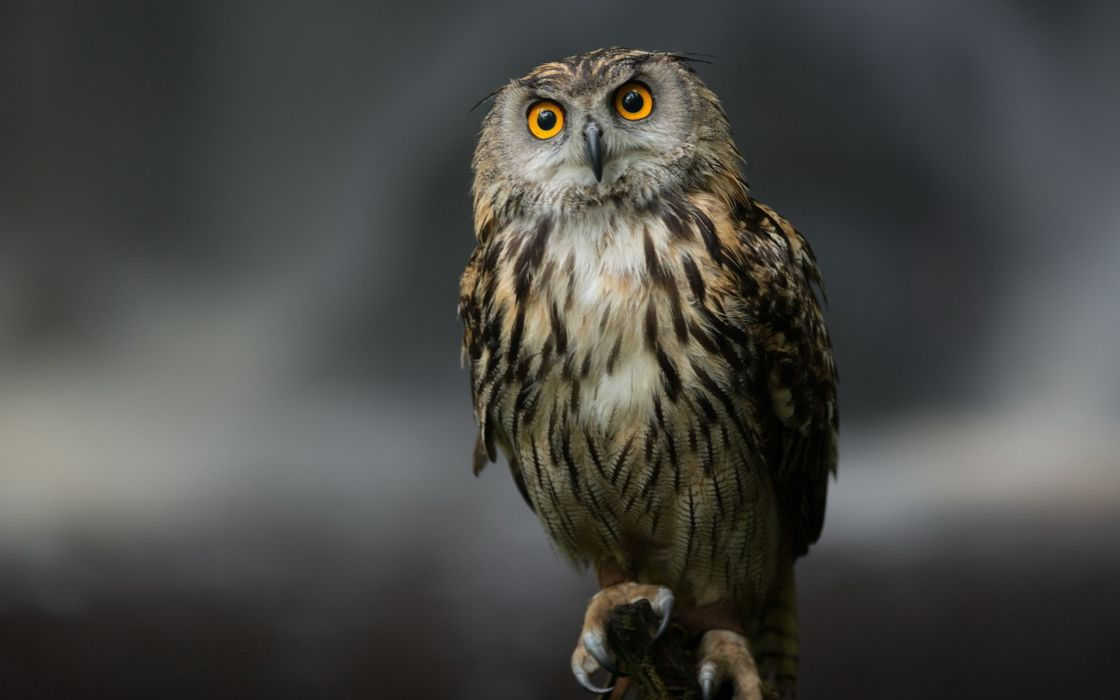 Owls birds wallpaper