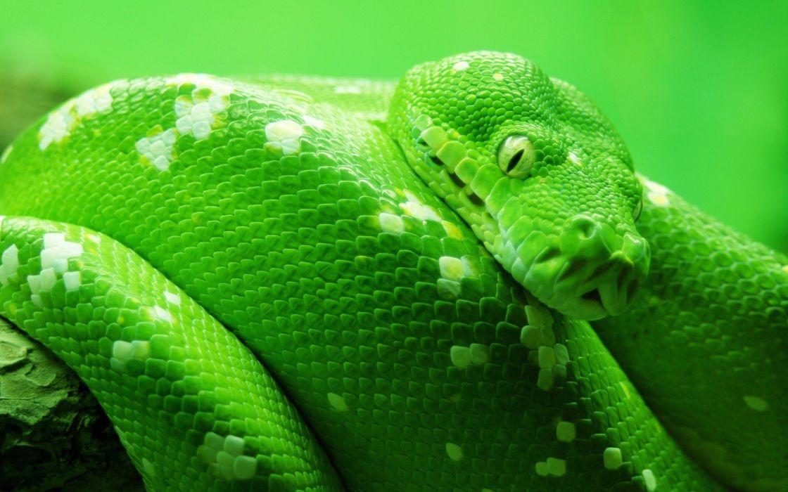 Green animals snakes reptile wallpaper