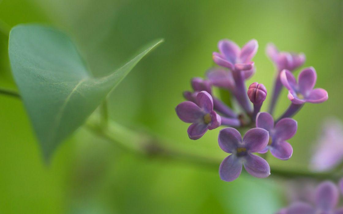 Nature flowers spring (season) lilac wallpaper