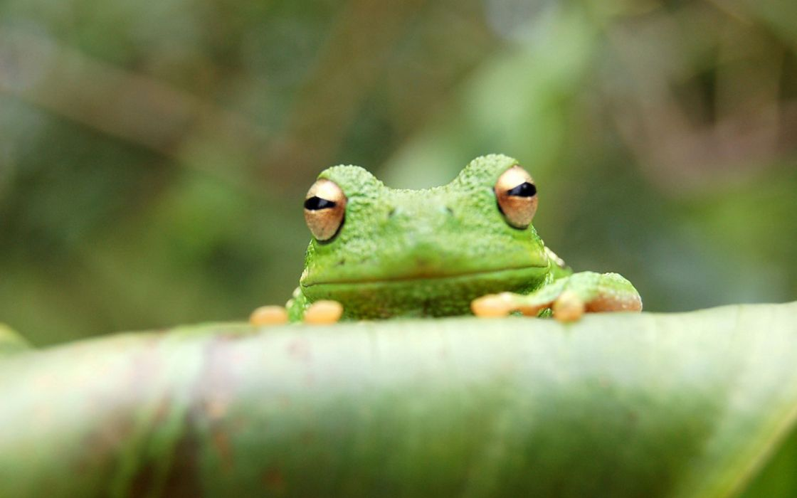 Animals frogs amphibians wallpaper