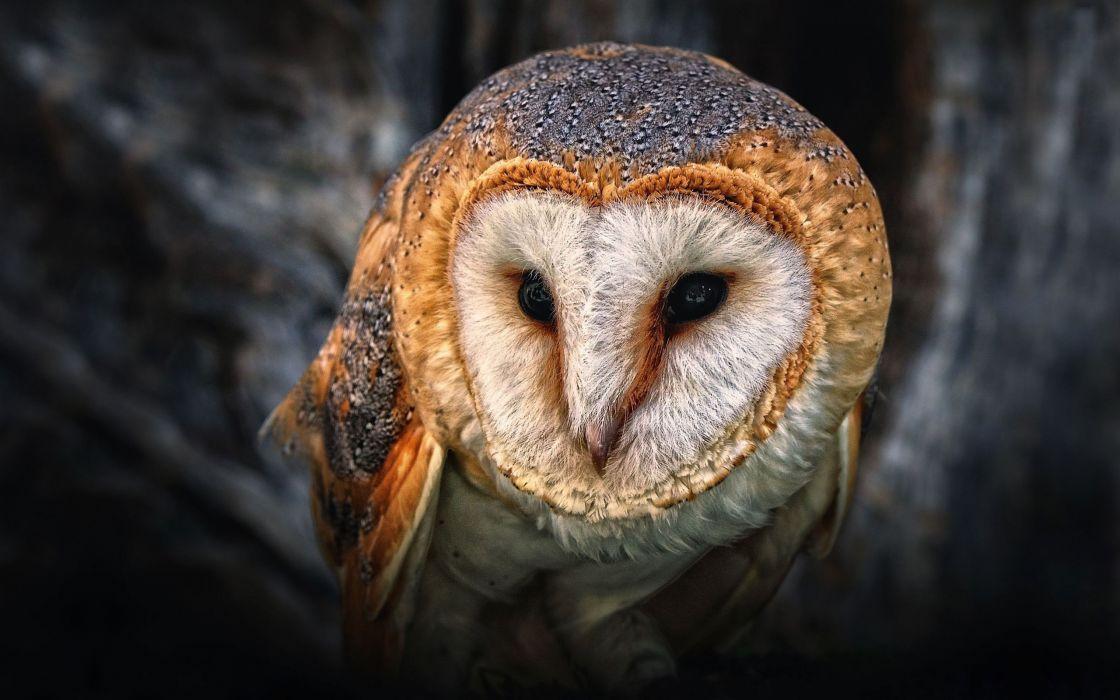 Nature birds owls animal world wallpaper