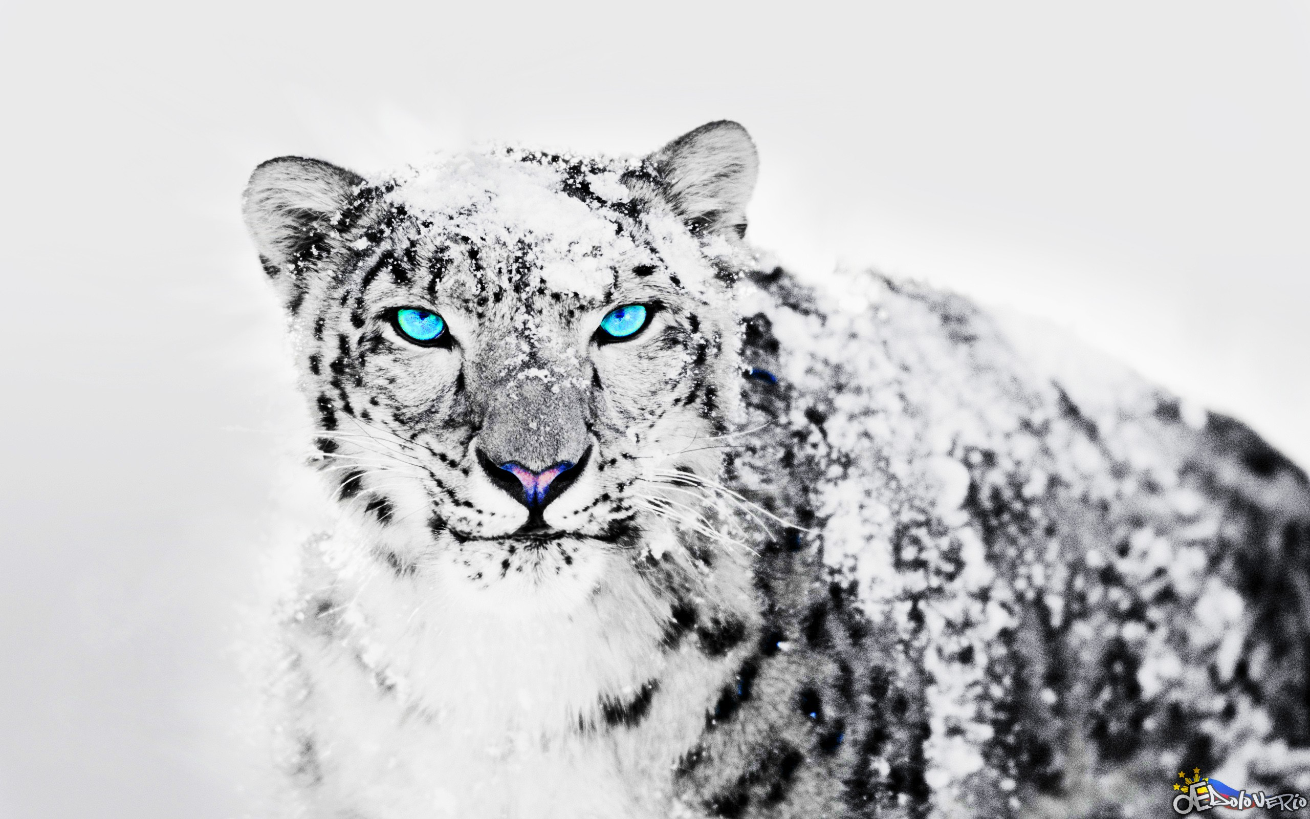 Two Snow Leopard wallpapers 55 Wallpapers – HD Wallpapers