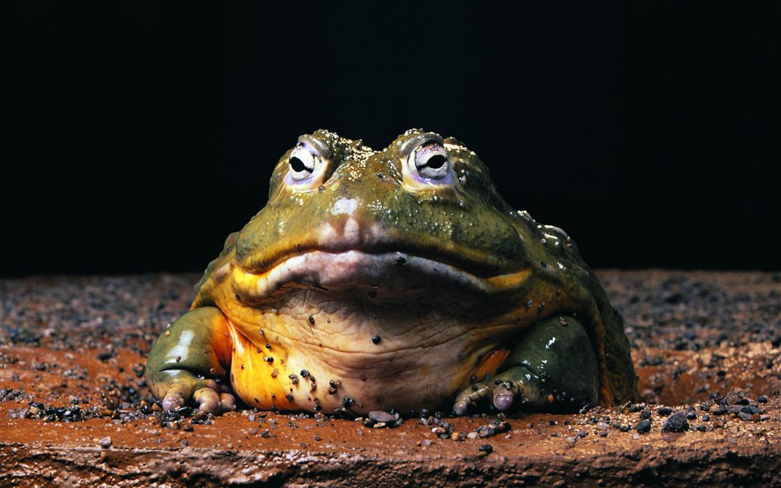 Nature frogs amphibians bullfrogs wallpaper